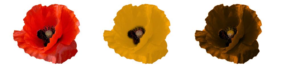 Na przykładzie maków pokazano jak pszczoły mogą widzieć barwę czerwoną kwiatu.