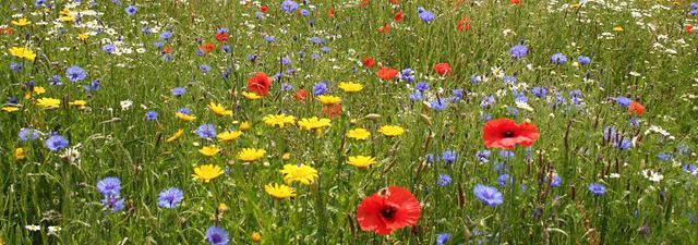 Zdjęcie ukwieconej łąki z czerwonymi makami, niebieskimi chabrami i żółtymi kwiatkami podobnymi do mniszka.
