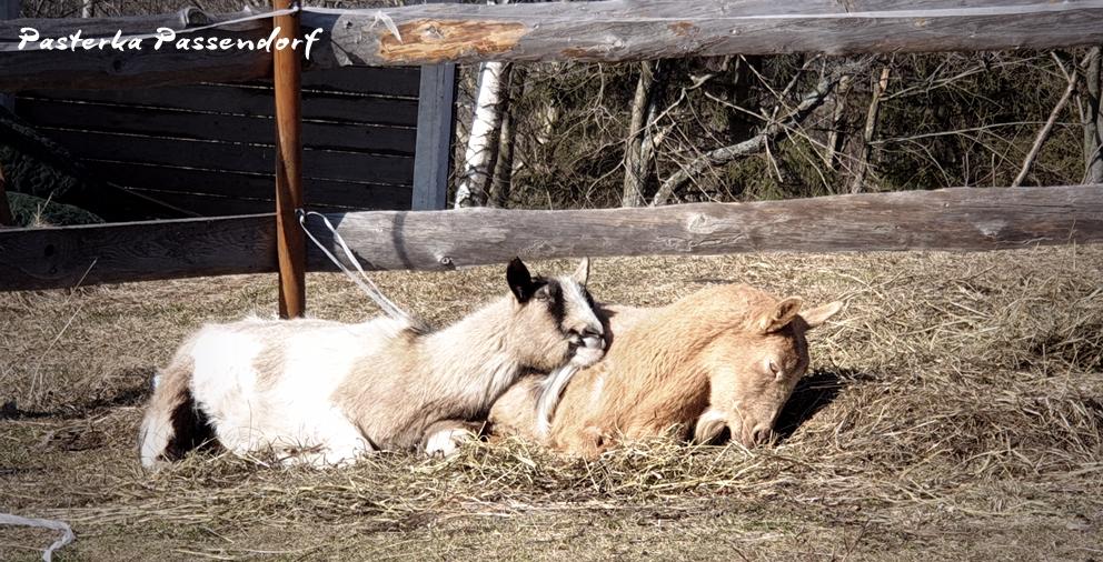 Kąpiel słoneczna w wykonaniu kóz w Oldskulowej Pasiece