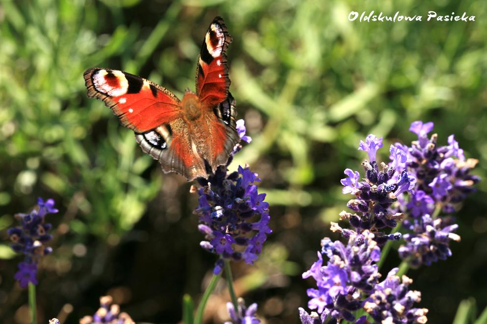 Lawenda przyciąga swoim nektarem trzmiele, bąki i stada motyli. Dla pszczół ma jednak zbyt głęboko położone nektarniki.