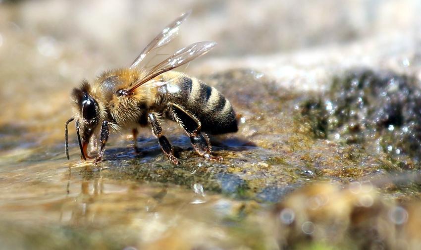 Na przedwiośniu woda pszczołom jest niezbędna. Aby nie marnowały sił na dalekie loty w poszukiwaniu wody, należy na pasiece ustawić poidło dla pszczół - najlepiej z podgrzewaną wodą