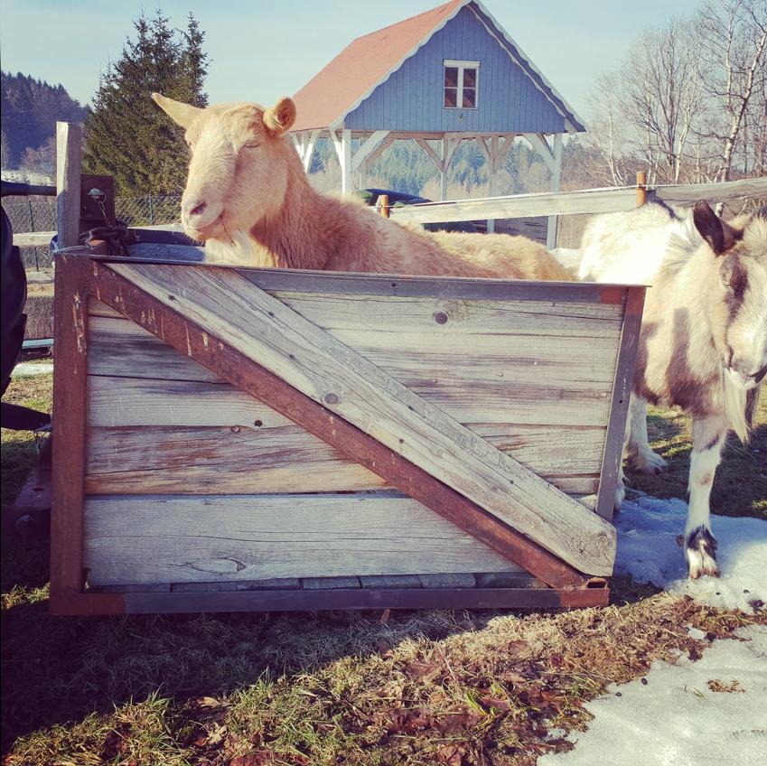 Kozy w Oldskulowej Pasiece stwierdziły, że mają dosyć zimna i chcą wyjechać do ciepłych krajów.
