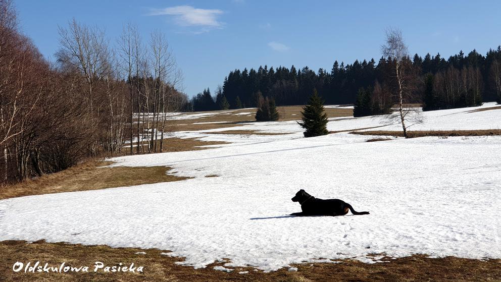Jeszcze mamy dużo śniegu w Oldskulowej Pasiece