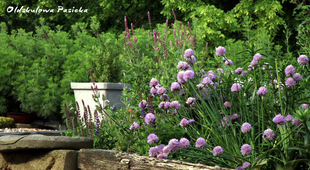 Zioła są doskonałymi roślinami nektarującymi i zaopatrują pszczoły w pyłek. Przy tym mają właściwości zdrowotne.