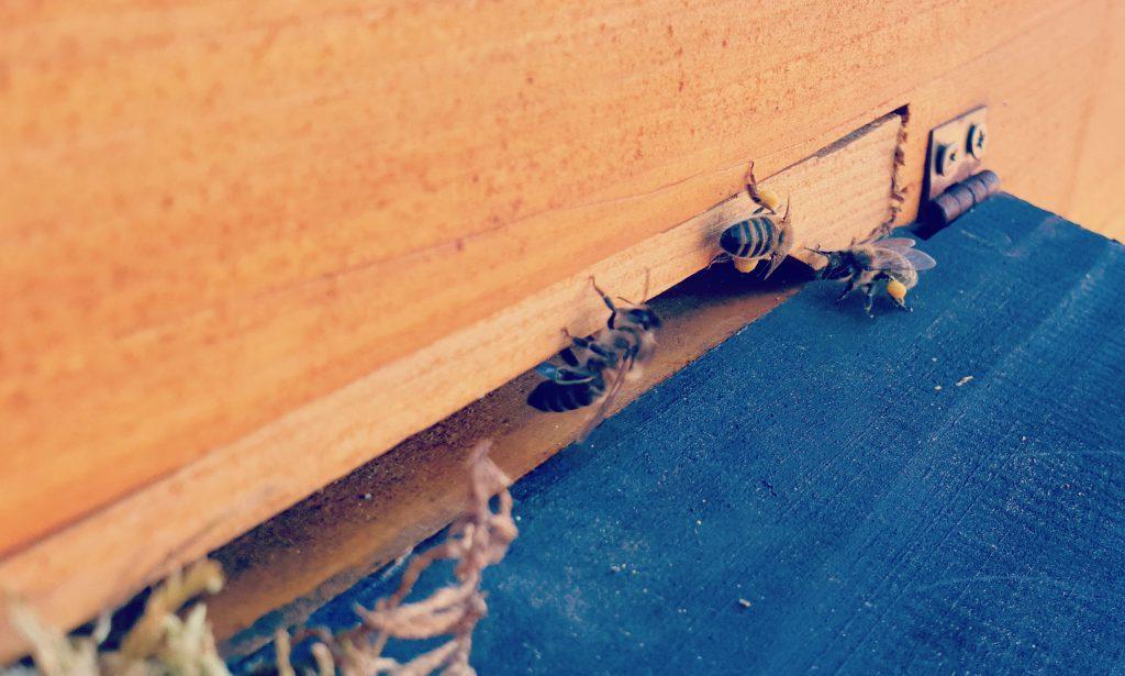 Doczekaliśmy się i my :) Pszczoły zebrały pierwszy pyłek w Oldskulowej Pasiece