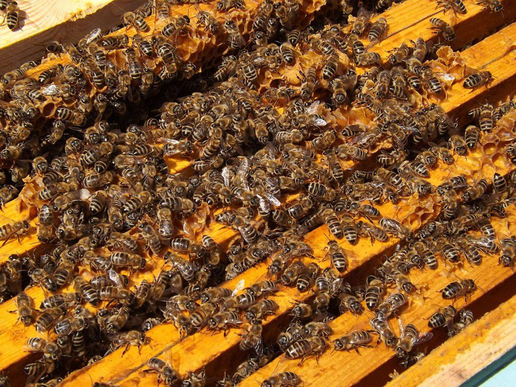 Kit pszczeli inaczej zwany propolisem stanowi naturalną warstwę ochronną dla pszczół.