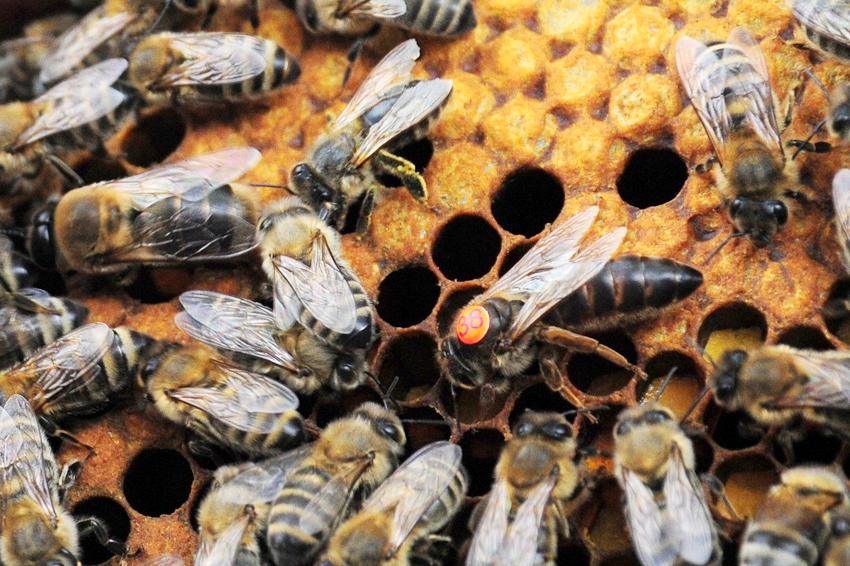 Obecność Matki pszczelej w ulu wpływa  na prawidłowe funkcjonowanie całej rodziny pszczelej. Zwłaszcza zimą nie może jej zabraknąć w ulu.