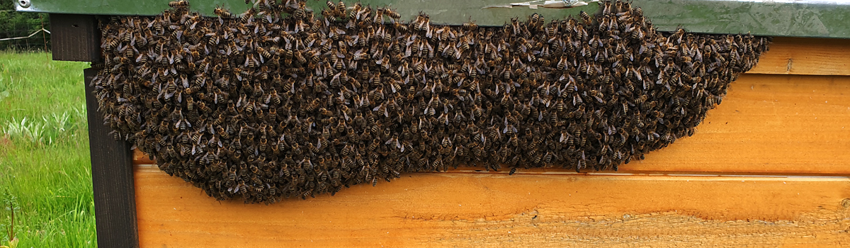 dziennik Oldskulowej Pasieki - czerwiec 2019. Co wydarzyło się w pasiece. Pierwsza rójka, pierwszy miód, pierwsze podanie matek pszczelich.