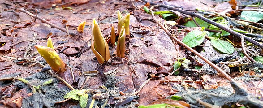 Pędy tulipanów