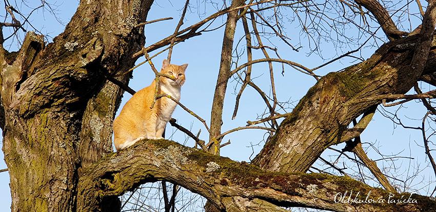 Rudy kot siedzący na konarze starej wierzby