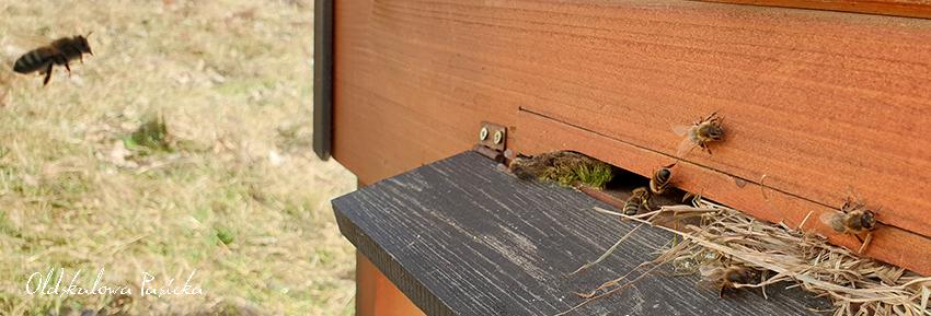 Wylotek w ulu zawężony zrolowaną suchą trawą. Przy wylotku pszczółka z żółtymi obnóżami niosąca pyłek do ula. Z lewej strony nalatuje druga pszczoła.