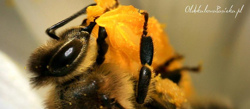 Zbliżenie głowy pszczoły. Odnóżami trzyma się żółtego pręcika krokusa. Dobrze widoczne oko i czółki.