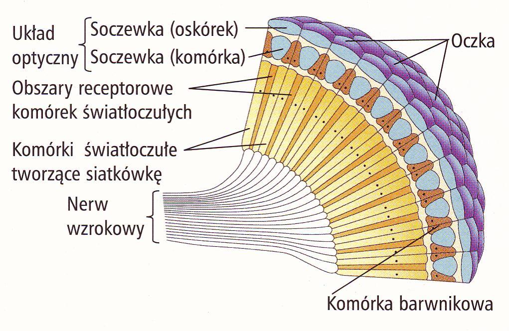 Schemat oka pszczoły.