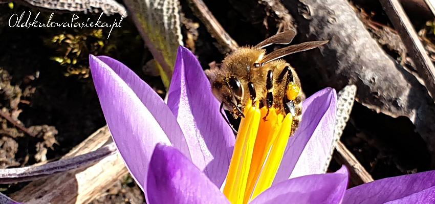 Pszczoła zbierająca pyłek z fioletowego krokusa.