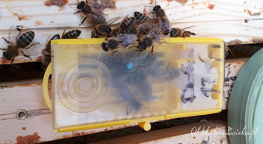 Matka pszczela zamknięta w klateczce transportowej z małą świta pszczół robotnic. Klateczka leży na górnych beleczkach ramek w ulu i cieszy się zainteresowaniem pszczół z ula.