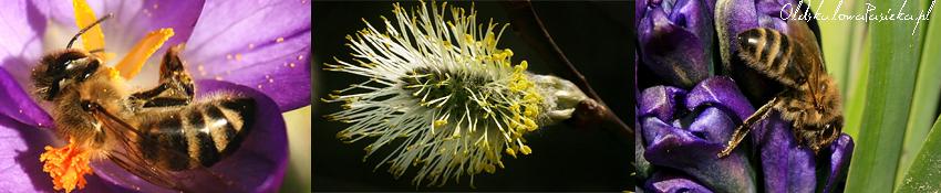 Tryptyk ze zdjęciami pszczół na krokusie i hiacyncie a po środku zbliżenie bazi wierzbowej