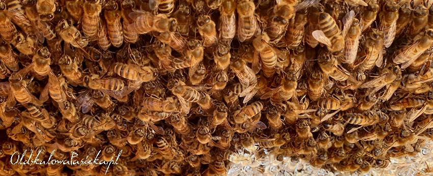 Tłum pszczół na plastrze