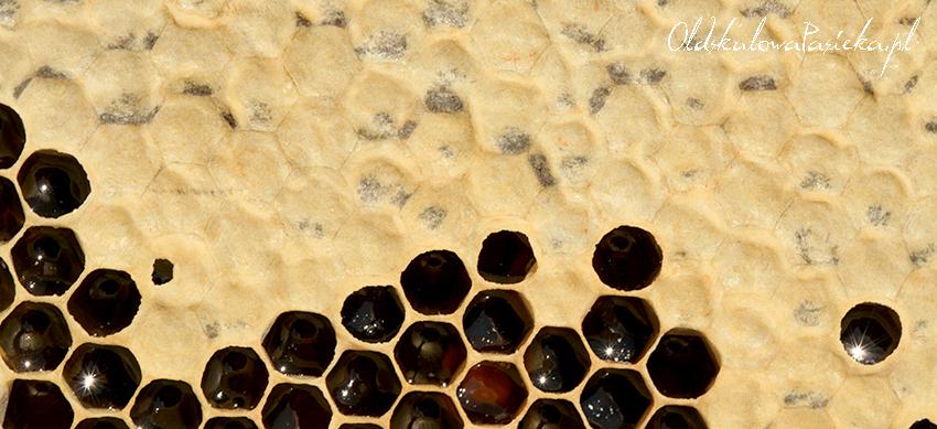 Zbliżenie plastra pszczelego z poszytym miodem i z komórkami wypełnionymi jeszcze miodem nieposzytym