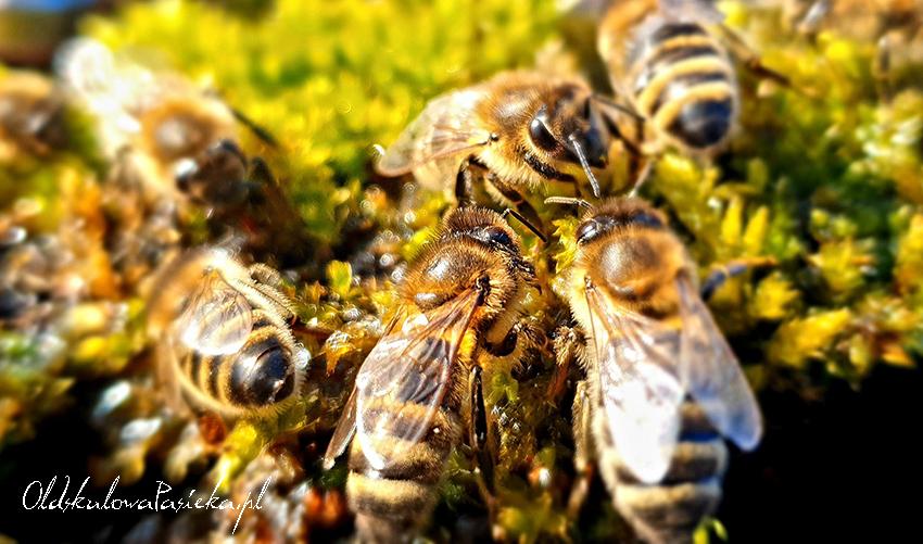 cztery pszczoły zebrane przy poidle na kępce mchu spijają wodę.