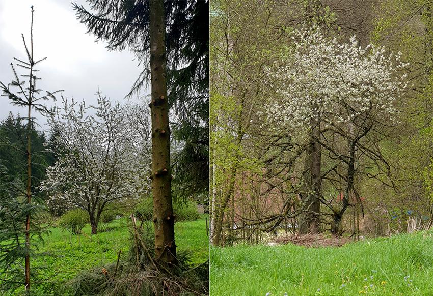 Kwitnące drzewa owocowe.