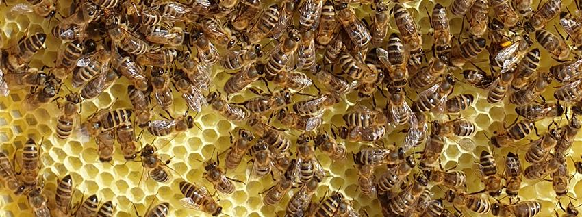 Plaster węzy z pszczołami, które go odbudowują.