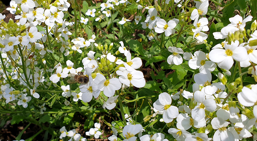 Białe kwiaty gęsiówki z pszczołą