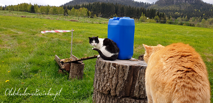 Dwa koty: czarnobiały i rudy siedzące na pieńkach przy poidle dla pszczół. W tle góry.