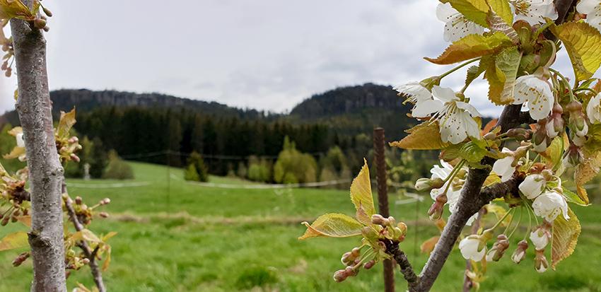 Gałązka kwitnącej czereśni. W tel góry.