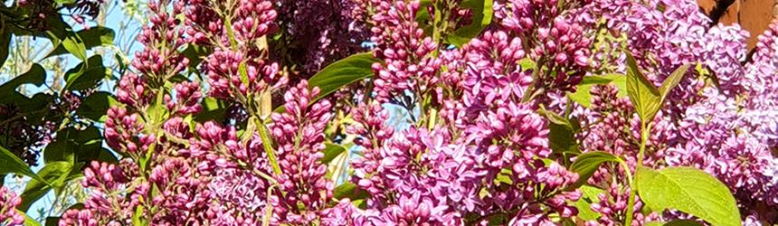 Kwitnący krzew fioletowego bzu