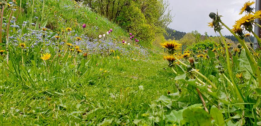 Trawnik z kwitnącym mniszkiem lekarskim, niezapominajka i tulipanami.