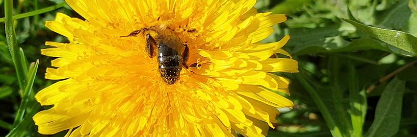 Pszczoła na mniszku lekarskim obsypana żółtym pyłkiem