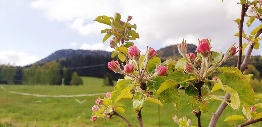 Młode drzewko jabłoni z pączkami kwiatowymi. W tle góry.