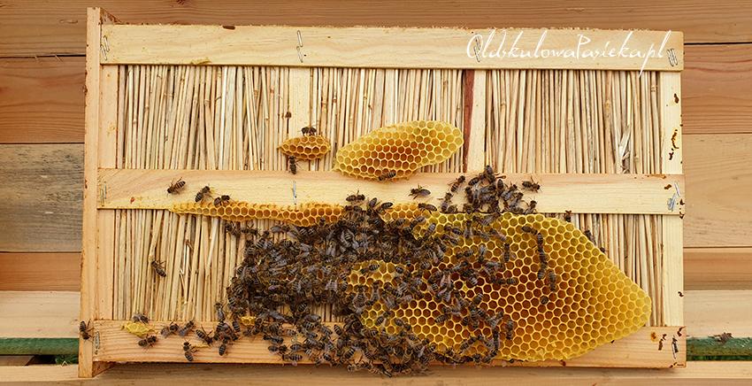 Słomiana mata ocieplająca z ula a na niej pszczoły zaczynają budować nowy plasterl