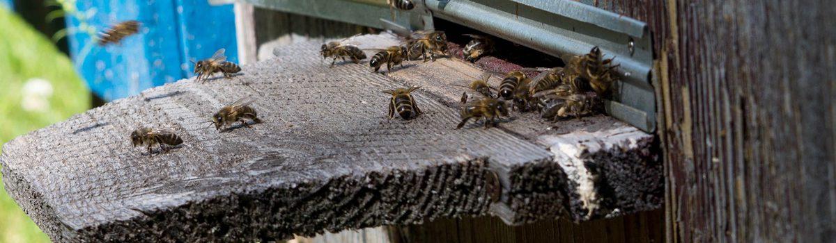 wylotek starego ula na którym siedzą pszczoły