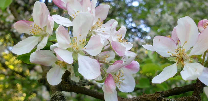 zbliżenie na kwiaty jabłoni