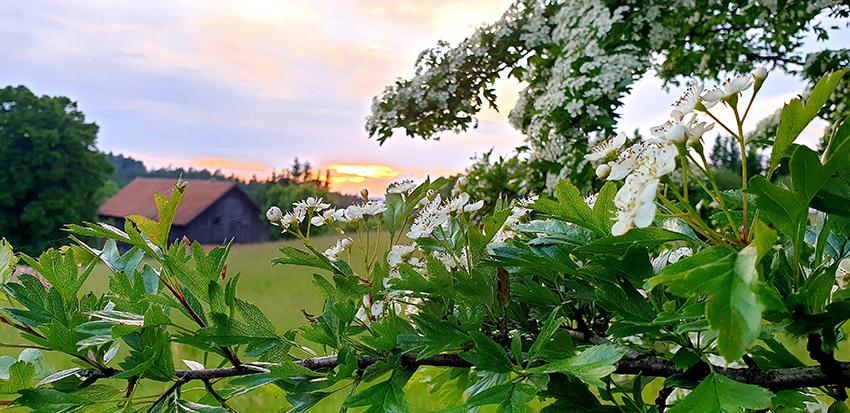 na pierwszym planie gałązka głogu z kwiatami w głębi dach stodoły i niebo o zachodzie
