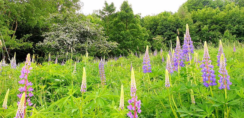 łąka z fioletowymi łubinami na pierwszym tle. W głębi kwitnący krzak głogu i ściana lasu liściastego
