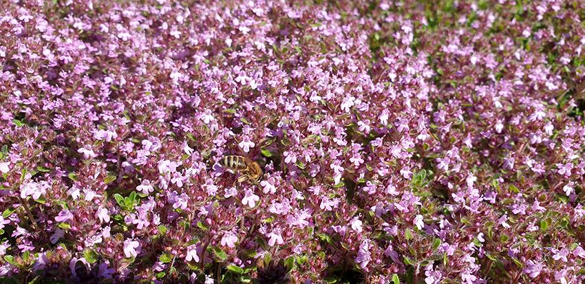 kwiaty macierzanki w zbliżeniu z pszczołą