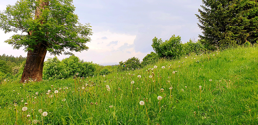 Zielona łąka z resztkami mniszka lekarskiego w postaci dmuchawców. Po lewej stronie drzewo, jawor