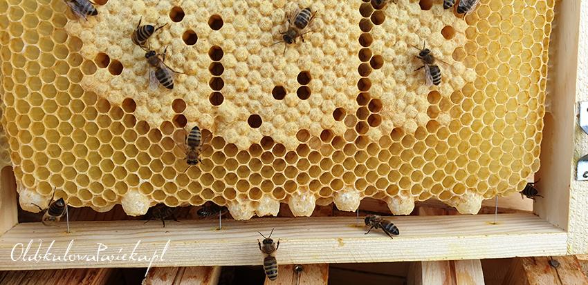 ramka pszczela z zakrytym czerwiem a na dole 8 mateczników niezasklepionych