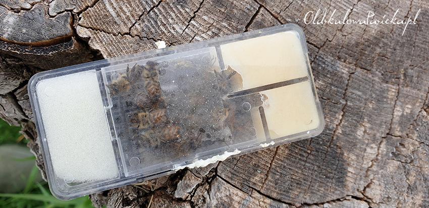 klateczka z matką pszczelą ustawiona na pieńku
